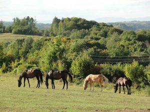 Konji na ispaši