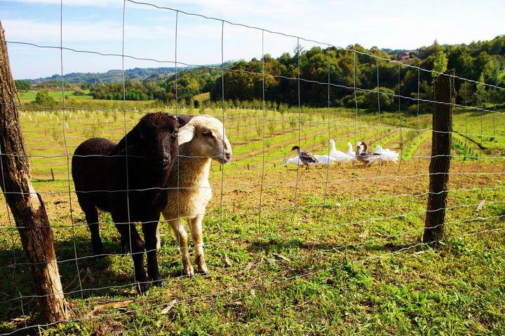 Crna i bijela ovca